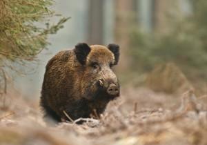 Fotolia 47711826 S 300x210 Wild boar in Bavarian forest
