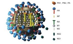 h5n8 300x179 Le virus d'influenza aviaire : Un constat inquiétant.