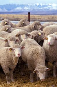 mouton 197x300 Le tir du loup en Moselle autorisé, puis suspendu