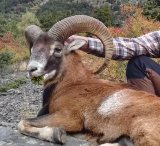 Capture4 Jour de Chasse   Chasse au Mouflon